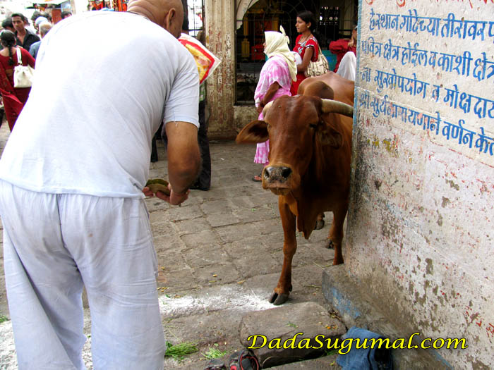 Pinda Daan Offering to Cow